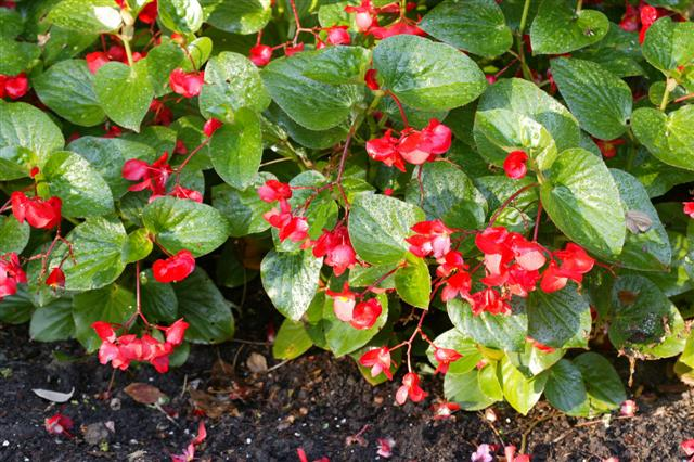 Picture of Begonia benariensis Whopper Red with Green Leaf