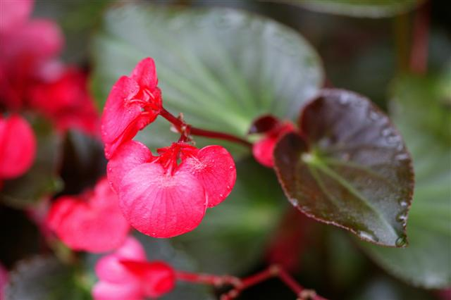 Picture of Begonia benariensis Whopper Rose with Bronze Leaf