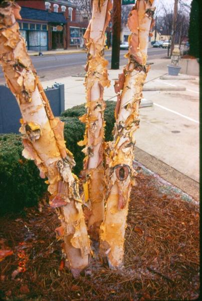 "Picture of Betula nigra 'Cully' Heritageâ""¢ Heritage River Birch"