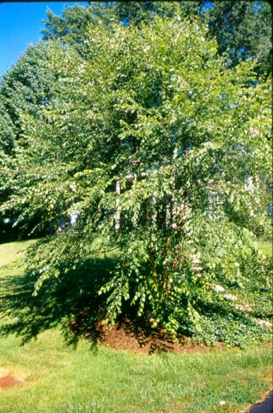 Picture of Betula nigra 'BNMTF' Dura-Heat® Dura Heat River Birch