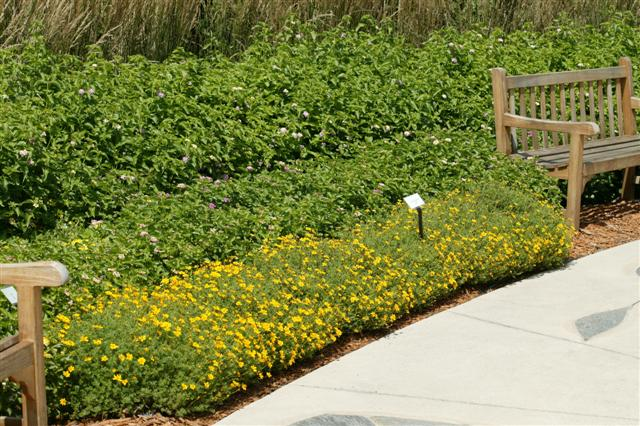 Picture of Bidens ferulifolia Goldilocks Rocks®