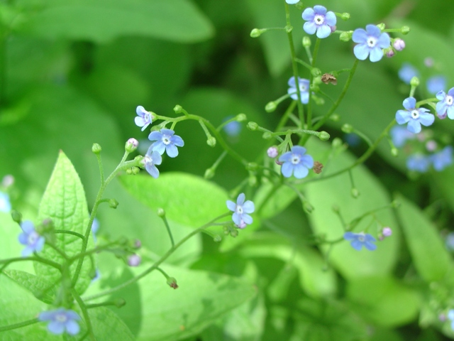 Picture of Brunnera macrophylla  Siberian Bugloss