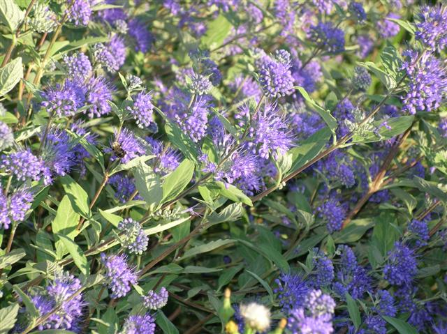 Picture of Caryopteris x clandonensis 'Worchester Gold' Blue Spirea, Bluebeard