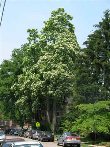 Picture of Catalpa speciosa  Northern Catalpa, Western Catalpa, Hardy Catalpa