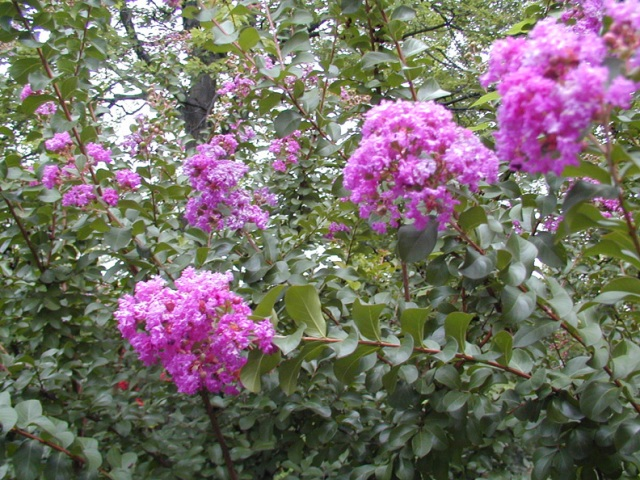 Picture of Lagerstroemia indica 'Catawba' Catawba Crapemyrtle