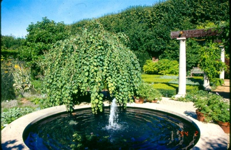 Picture of Cercidiphyllum japonicum 'Pendula' Weeping Katsura Tree
