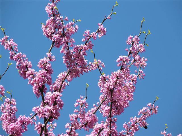 Picture of Cercis canadensis  Eastern Redbud