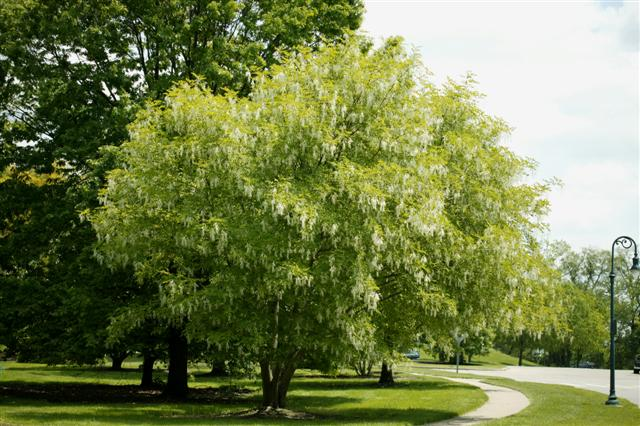 Picture of Cladrastis kentukea  Yellowwood