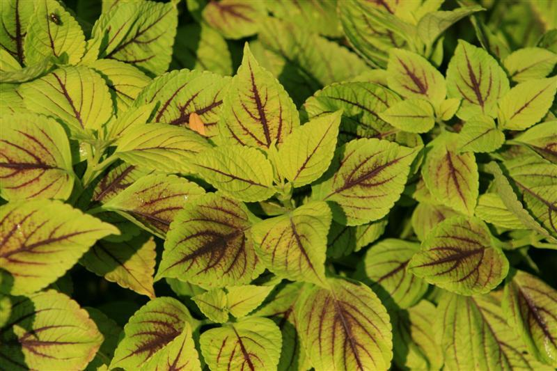 Picture of Solenostemon scutellarioides 'Gay's Delight' Gay's Delight Coleus