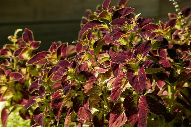 Picture of Solenostemon  ColorBlaze® Dipt in Wine