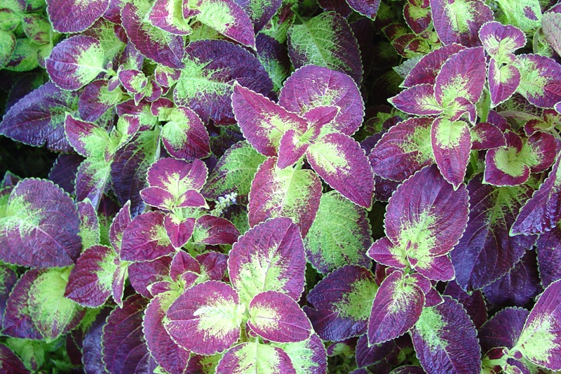 Picture of Solenostemon scutellarioides 'Colorblaze® Dipt in Wine' Colorblaze® Dipt in Wine Coleus