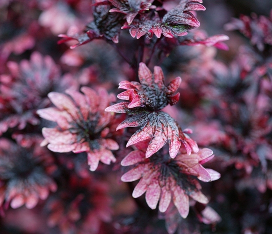 "Picture of Solenostemon  'Signatureâ""¢ Gnash Rambler' Signatureâ""¢ Gnash Rambler Coleus"
