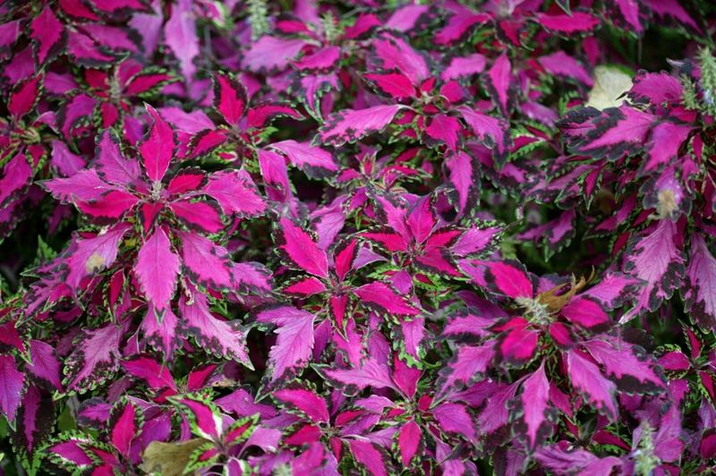 Picture of Solenostemon  Pink Chaos