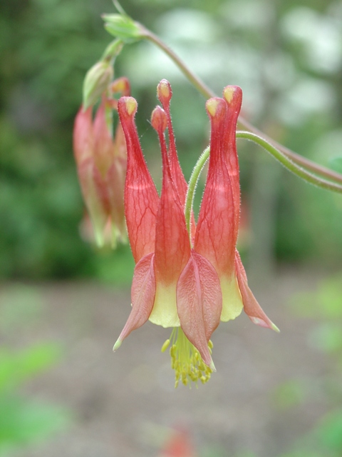 Picture of Aquilegia canadensis  Columbine