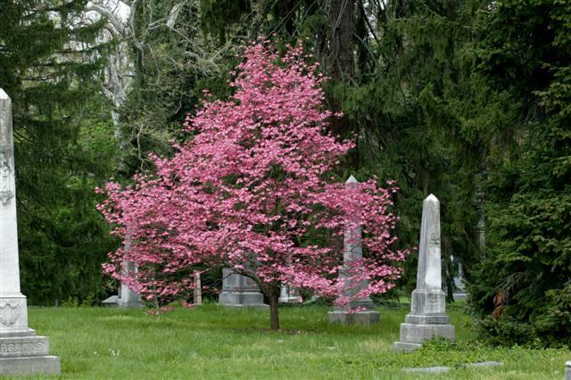 cornus florida 39 rubra 39 pink flowering dogwood on. Black Bedroom Furniture Sets. Home Design Ideas
