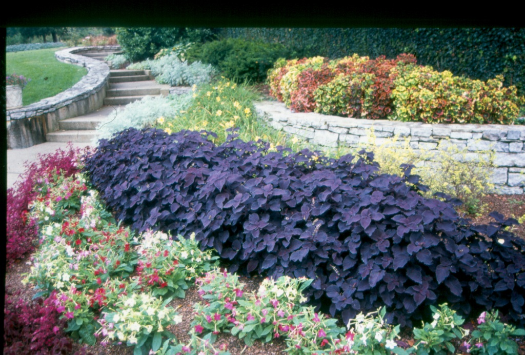 Picture of Solenostemon scutellarioides 'Colorblaze® Dark Star' Colorblaze® Dark Star Coleus