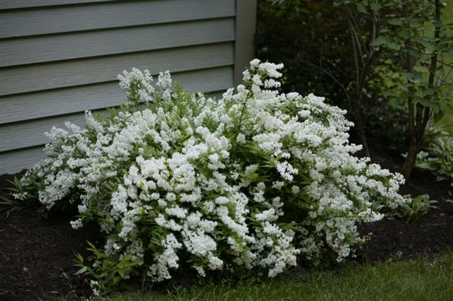 Picture of Deutzia gracilis  Slender Deutzia