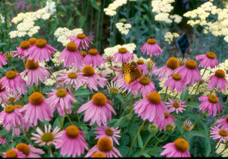 Picture of Echinacea purpurea 'Kim's Knee High' Kim's Knee High Coneflower
