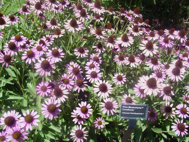 "Picture of Echinacea  'Pixie Meadowbrite'â""¢ Pixie Meadowbrite"