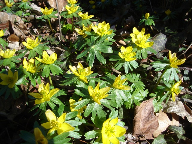 Picture of Eranthis hyemalis  Winter Aconite