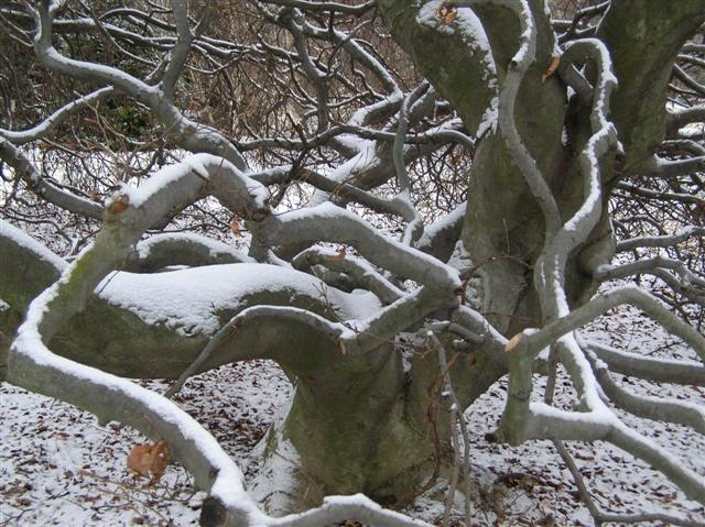 Picture of Fagus sylvatica 'Tortuosa' Contorted Beech