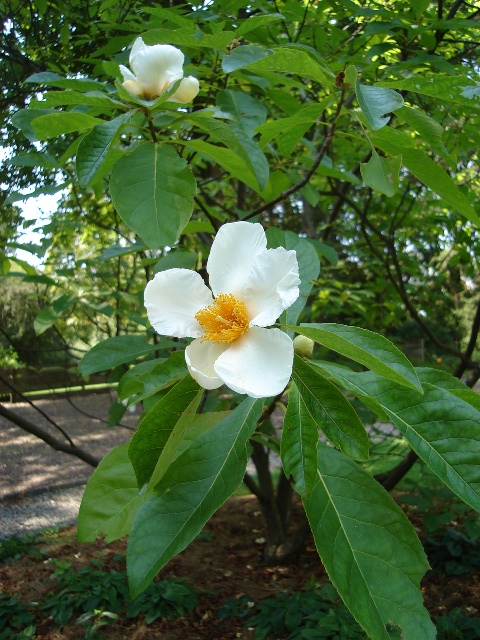 Picture of Franklinia alatamaha  Franklin Tree