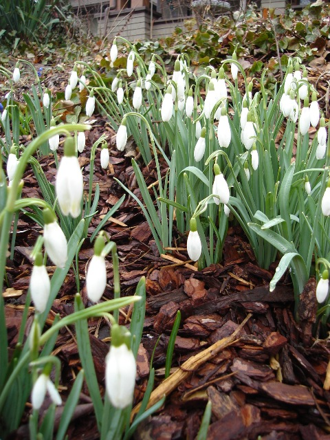 Picture of Galanthus nivalis  Snowdrop