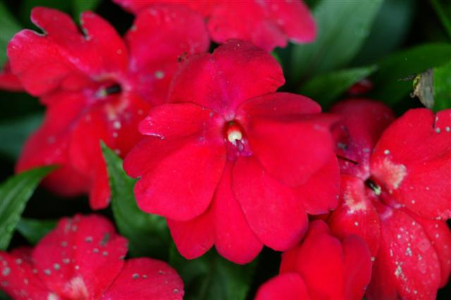 Picture of Impatiens hawkerii Infinity® Electric Cherry