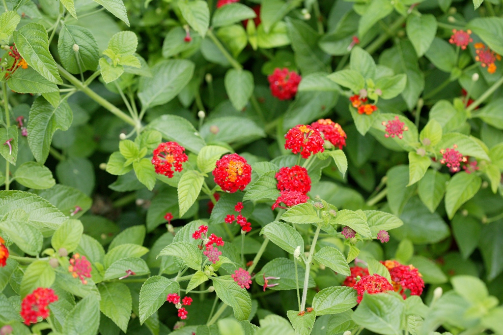 Picture of Lantana  camara 'Luscious® Citrus Blend™' Luscious® Citrus Blend™ Lantana