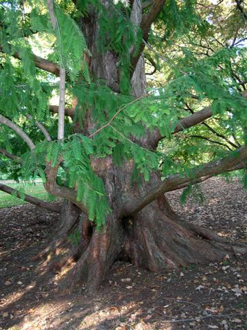 Picture of Metasequoia glyptostroboides  Dawn Redwood