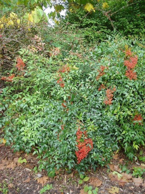 Picture of Nandina domestica  Heavenly Bamboo