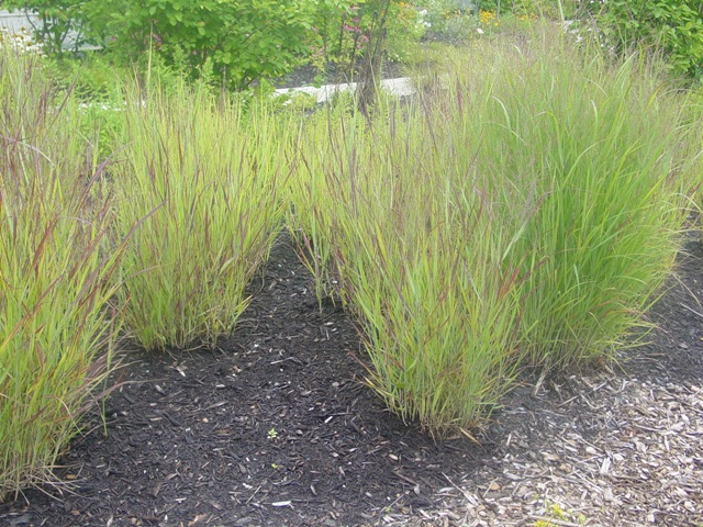 panicum virgatum 39 shenandoah 39 shenandoah switch grass on. Black Bedroom Furniture Sets. Home Design Ideas
