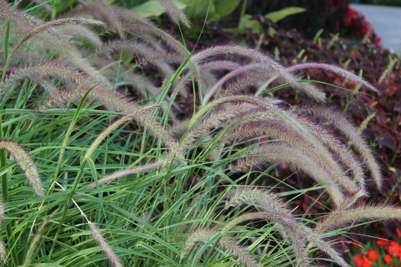 Picture of Pennisetum  setaceum 'Graceful Grasses® Sky Rocket' Graceful Grasses® 'Sky Rocket' Pennisetum