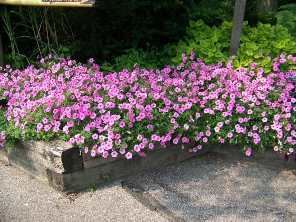 Picture of Petunia hybrid 'Supertunia® Vista Bubblegum®' Supertunia® Vista Bubblegum® Petunia