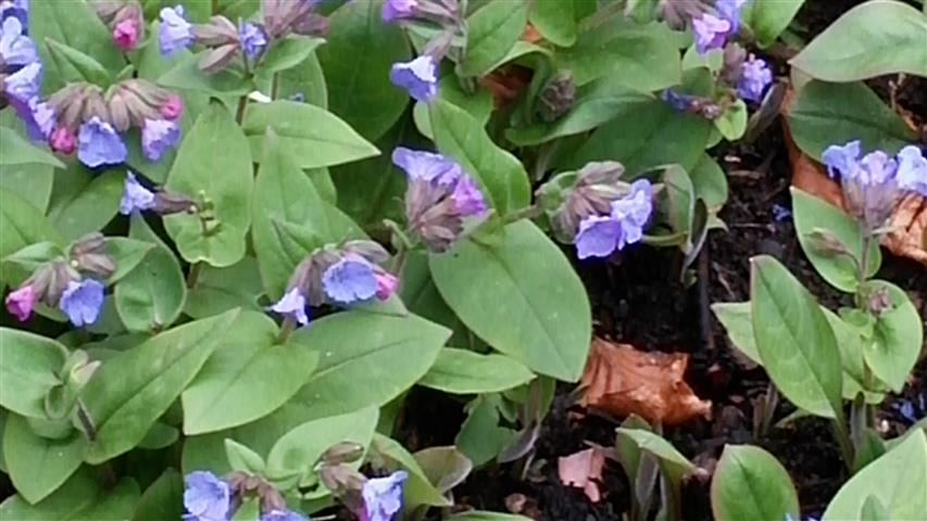 Pulmonaria angustifolia plantplacesimage020140317_211759.jpg