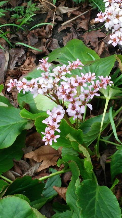 Bergenia crassifolia plantplacesimage020140322_152307.jpg