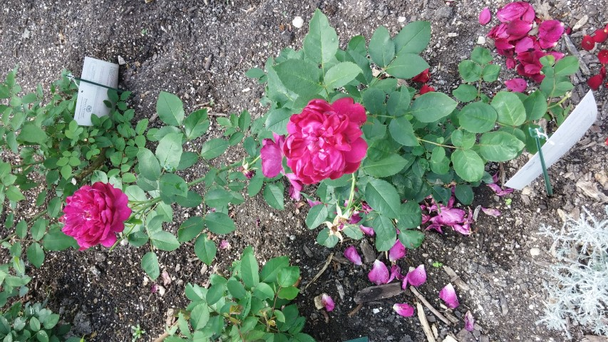 Rosa sp. plantplacesimage20150605_113616.jpg