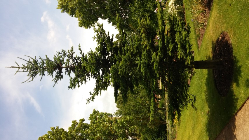 Abies balsamea plantplacesimage20150705_130403.jpg