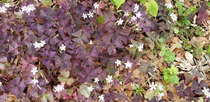 Oxalis triangularis plantplacesimage20190413_123120.jpg