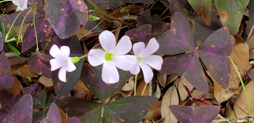 Oxalis triangularis plantplacesimage20190413_123134.jpg