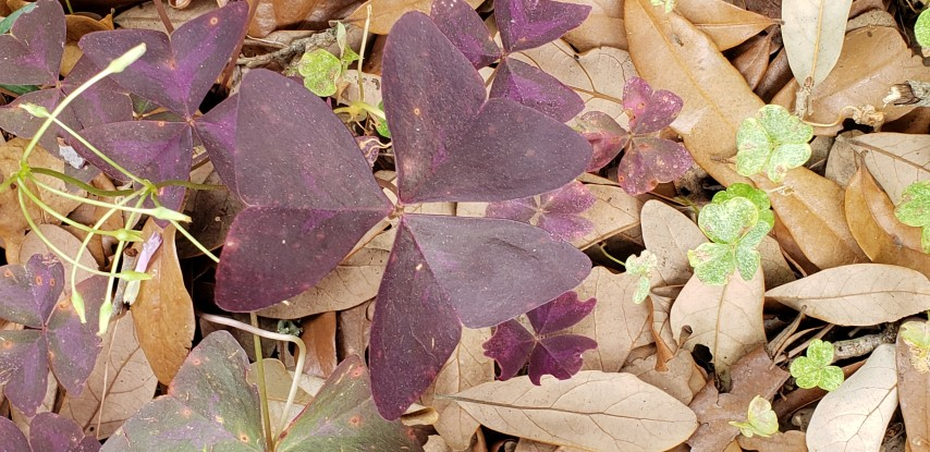 Oxalis triangularis plantplacesimage20190413_123149.jpg