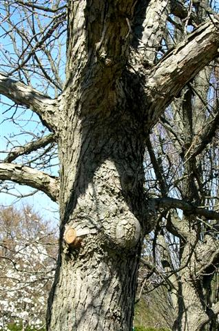 Picture of Quercus bicolor  Swamp White Oak