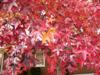 Photo of Genus=Liquidambar&Species=styraciflua&Common= Sweetgum&Cultivar=