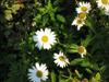 Photo of Genus=Leucanthemum&Species=superbum&Common=Shasta Daisy&Cultivar=
