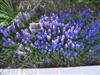 Photo of Genus=Muscari&Species=armeniacum&Common=Grape Hyacinth&Cultivar=