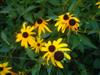 Photo of Genus=Rudbeckia&Species=fulgida&Common=Goldsturm Brown Eyed Susan&Cultivar='Goldsturm'