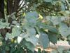 Photo of Genus=Tilia&Species=tomentosa&Common=Silver Linden&Cultivar=