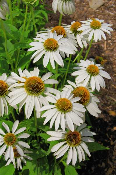 Photo of Genus=Echinacea&Species=purpurea&Common=White Swan Coneflower&Cultivar='White Swan'