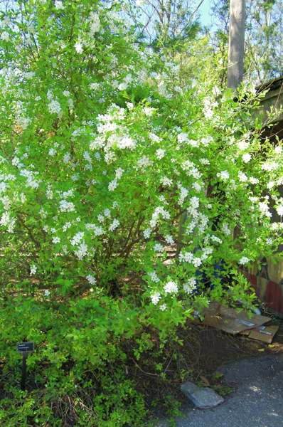 Photo of Genus=Exochorda&Species=racemosa&Common=Pearlbush&Cultivar=