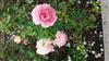Photo of Genus=Rosa&Species=spp&Common=&Cultivar=jubilee celebration